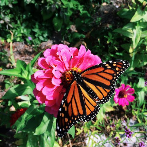 An orange butterfly spreading its wings out, perched on a pink flower.
