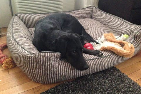 Sapphie the dog sitting in her cushioned dog bed