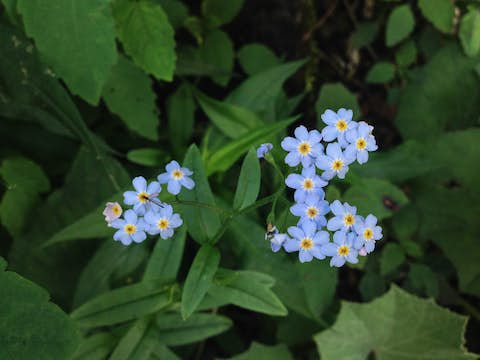 A collection of blue flowers on a forest floor.