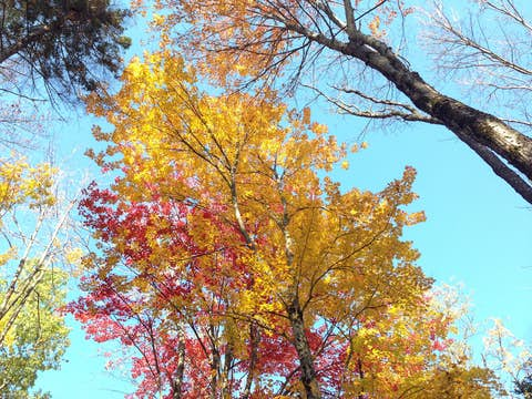 looking up at bright fall color trees, red and yellow leaves