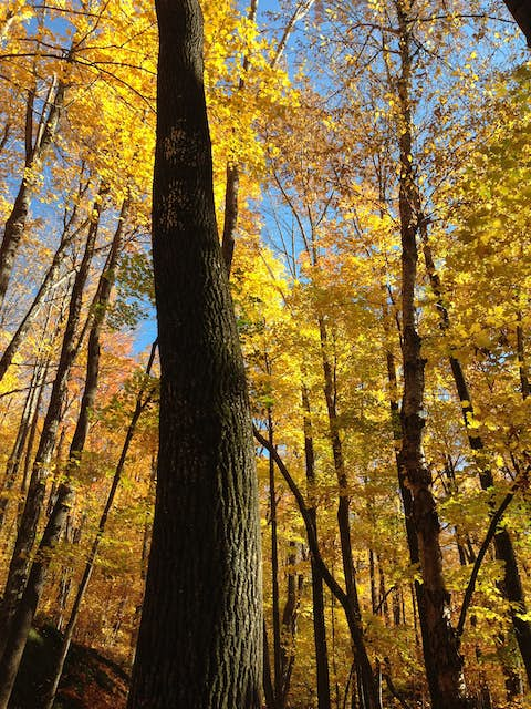 brilliant yellow maple leaves and skinny dark tree trunks in a forest