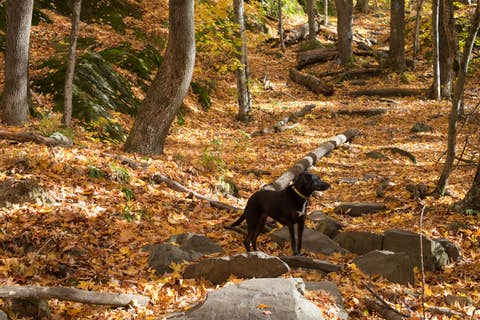 Sapphie the dog standing on rocks and leaves in a yellow-tinged forest