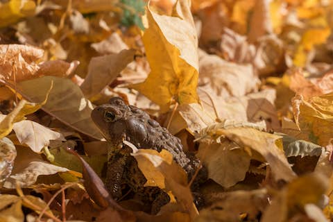 a toad on the forest floor among yellow leaves