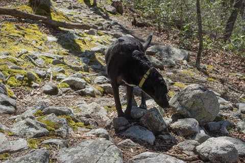 A black dog sniffing a rocky lichen-covered trail