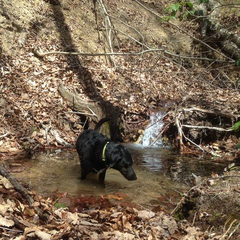 A black dog wading in a pool of water on a wooded trail