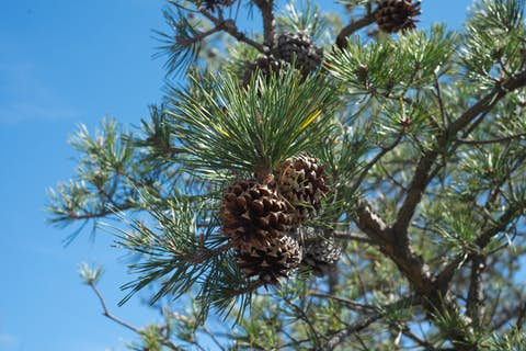 A close view of a pine cone attached to a living tree