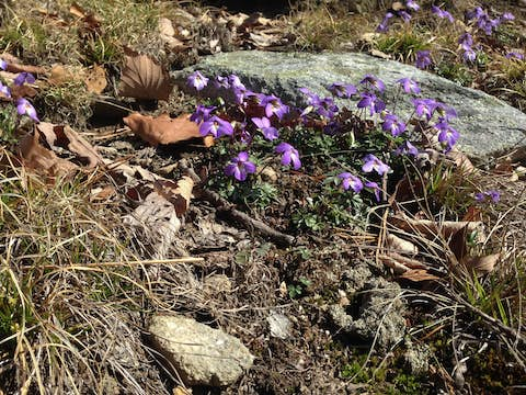 Purple flowers, brown leaves, moss, rocks and lichen on the floor of the trail